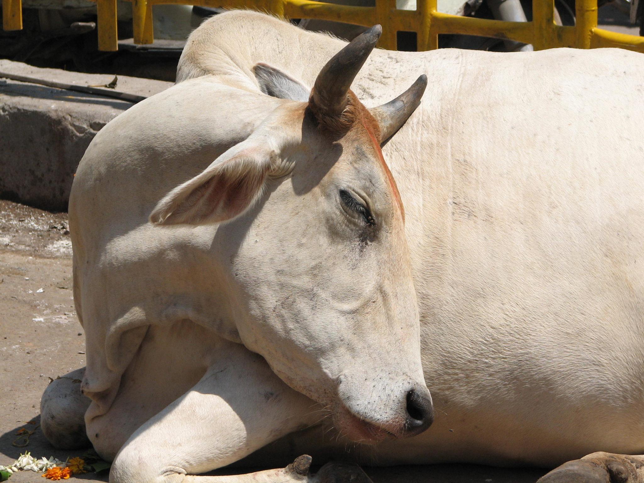 SARASWATI COW VACHE