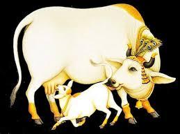 vache-sacré