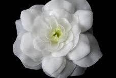 Le Gardenia