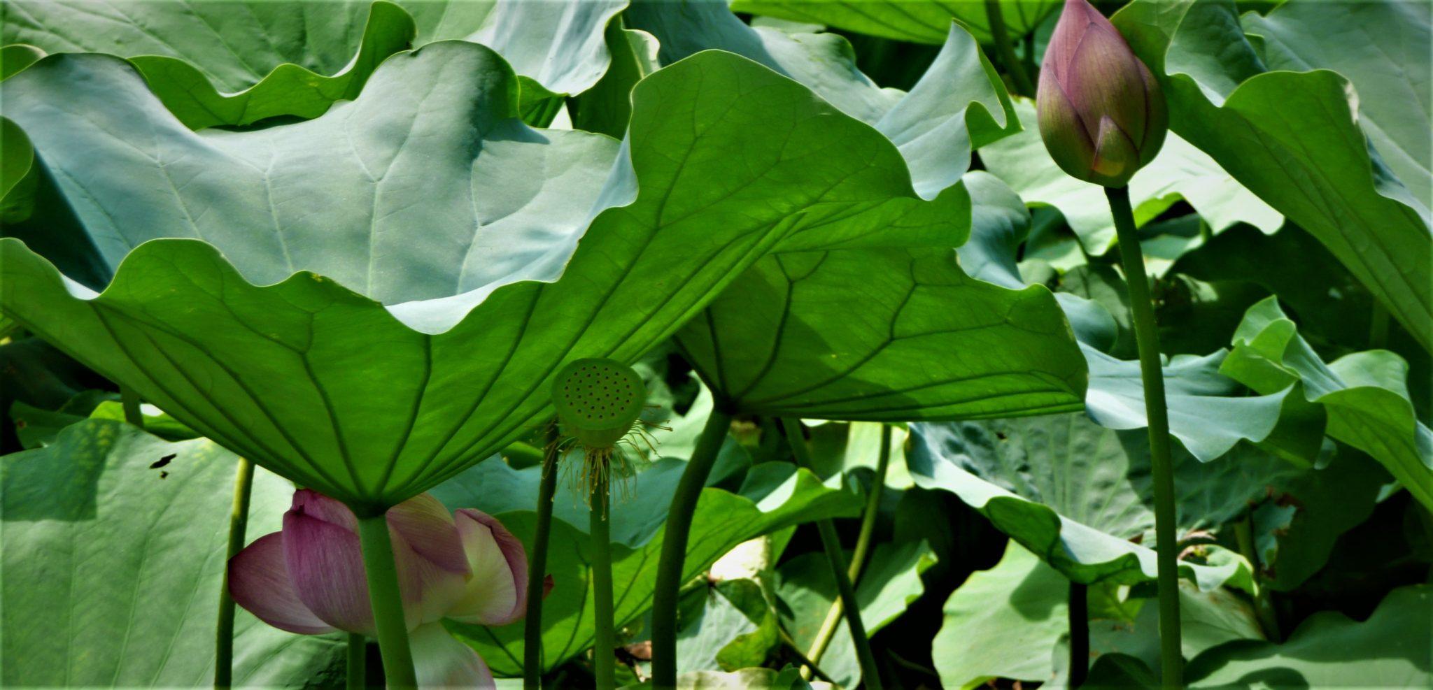 lotus japon