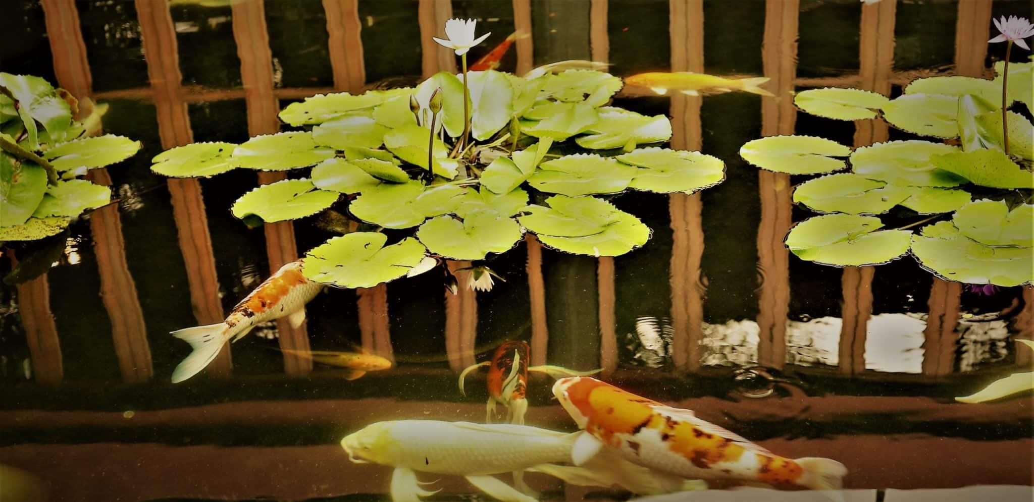 poissons d'or fertilité protection Mes Indes Galantes Blog