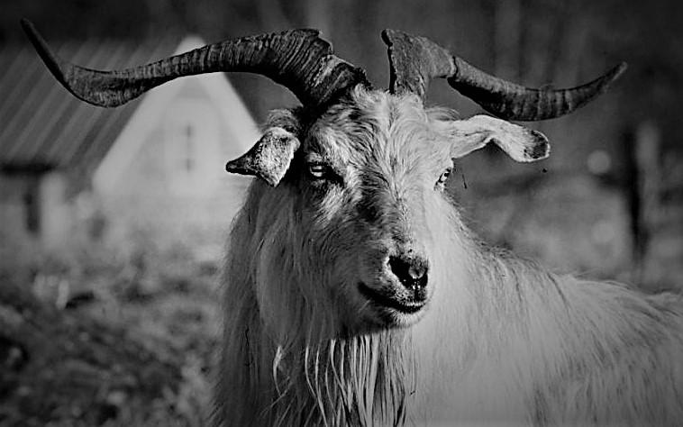 chèvre cachemire Himalaya
