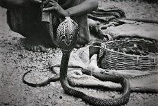 Le serpent : malédiction ou bienveillance ?